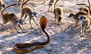 La dieta del suricato-300x180