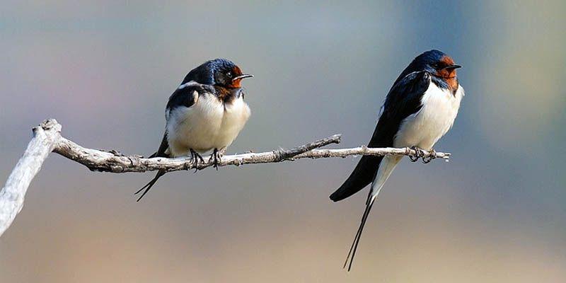 Le rondini simbolo della primavera di buon augurio di - Primavera uccelli primavera colorazione pagine ...