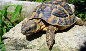 Le tartarughe amano il sole-300x180