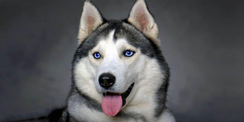 Husky siberian husky un cane cordiale estroverso - Husky con occhi diversi ...