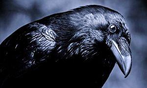 Che cos'è l'intelligenza e la genialità dei corvi-300x180
