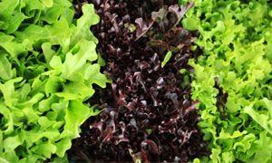 Erbe di campo e insalata-300x180
