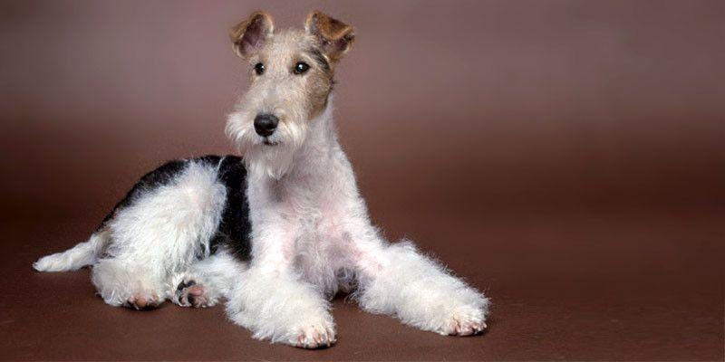 Il Fox-Terrier-800x400