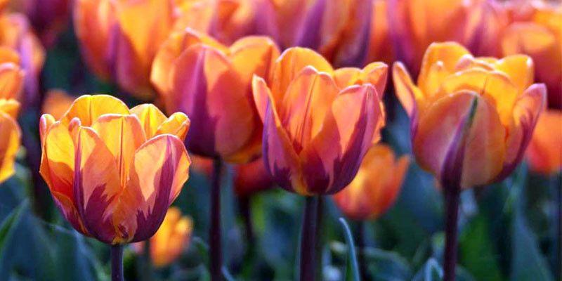 Bulbi in fiore4-800x400