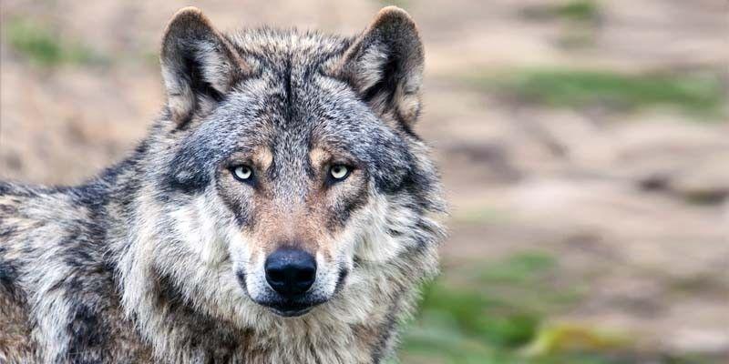 Chi ha paura del lupo1-800x400
