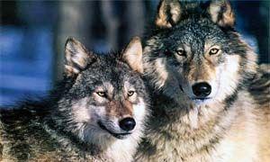 Quanti sono i lupo in Italia-300x180