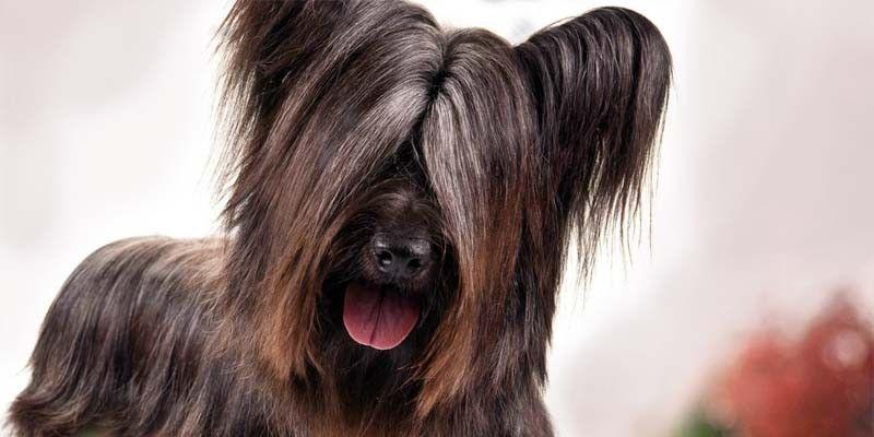 Lo Skye-Terrier-800x400