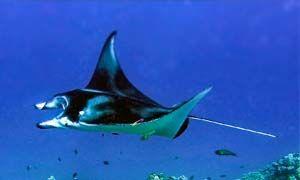 Lo squalo piatto-300x180