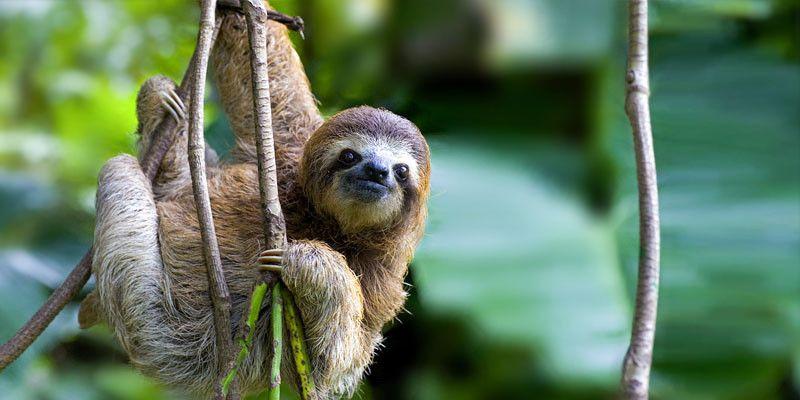 """Risultati immagini per Amazzonia: """"Il bradipo vedi"""