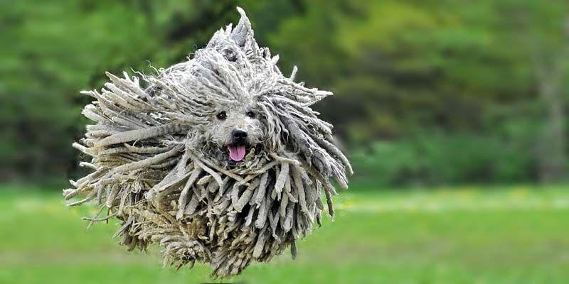 Puli un cane originale vivace affettuoso e di grande for Affettuoso in inglese