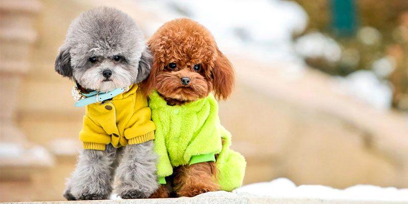 Barboncino una razza di cane da amare incondizionatamente for Cane barbone
