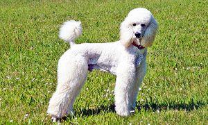 Il barbone, cane da palude-300x180