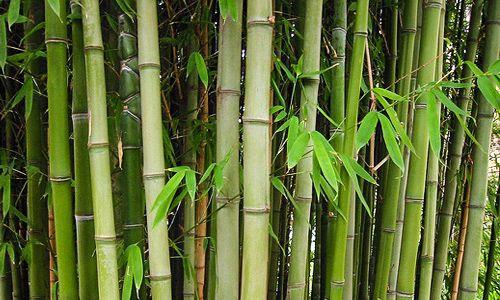 Bambu-500x300