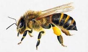 Identikit di un'ape bottinatrice-300x180