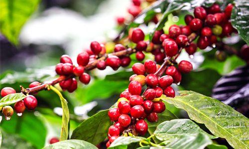 caffe-500x300