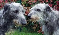 Deerhound2-800x400