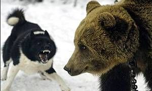 Uno stupefacente cacciatore di orsi e di cinghiali-300x180