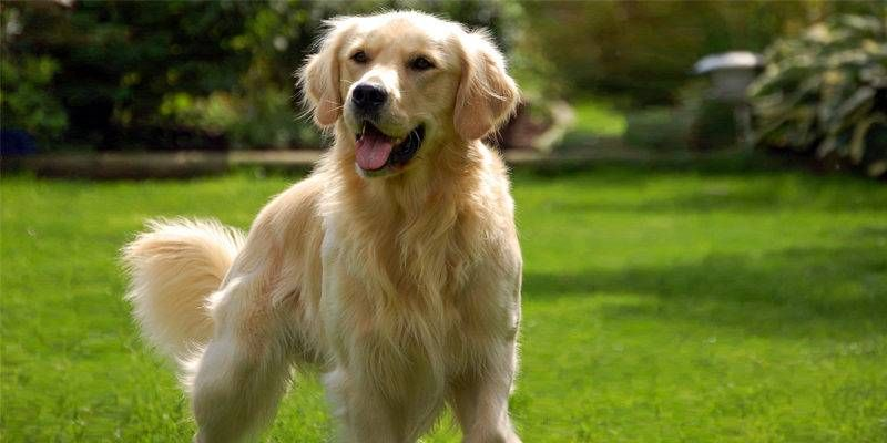 Golden Retriever1-800x400