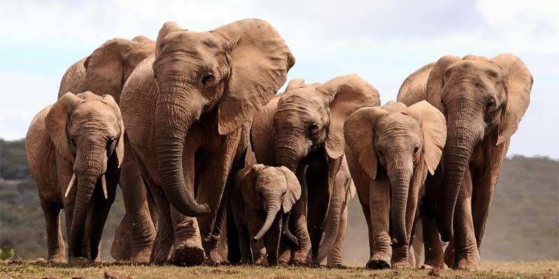 Thailandia: 11 elefanti morti nel tentativo di salvare un cucciolo