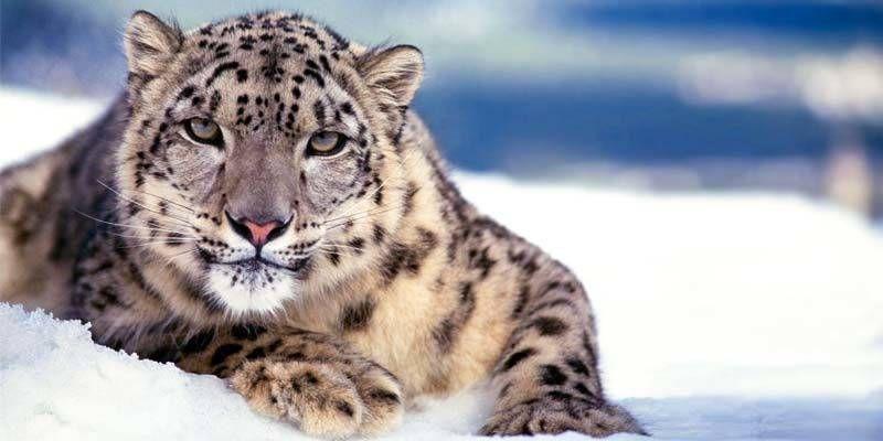 Leopardo delle nevi1-800x400