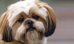 Lhasa Apso, un cane allegro, sveglio, indipendente e deciso