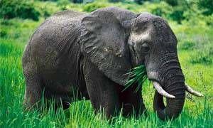 Memoria da elefante-300x180
