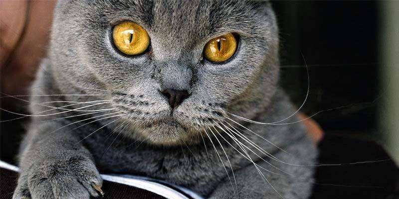 Le 5 Razze Di Gatti Più Eleganti Da Tenere In Casa Best5it