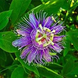 Passiflora-250x250
