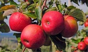 Il melo selvatico-300x180