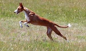 Cani primitivi-300x180