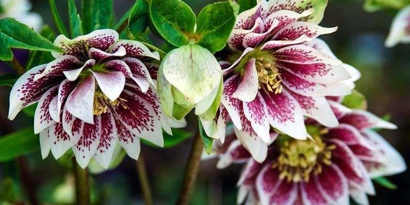 ellebori le piante sempreverdi che fioriscono in pieno