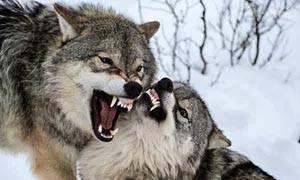 Come comunica il lupo-300x180