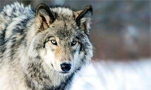 Il lupo italiano-300x180