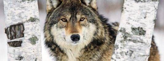 Il lupo1-800x400