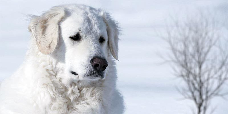 Il Kuvasz Un Cane Da Guardia Coraggioso Vigile Ed Incorruttibile