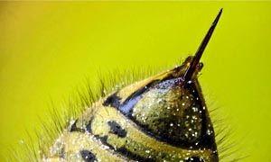 Nelle api il pericolo viene dalle femmine-300x180