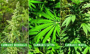 Quante specie di cannabis ci sono-300x180