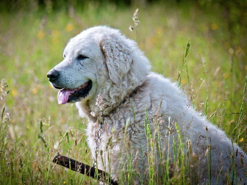 Il kuvasz un cane da guardia coraggioso vigile ed for Nomi per cani maschi taglia piccola