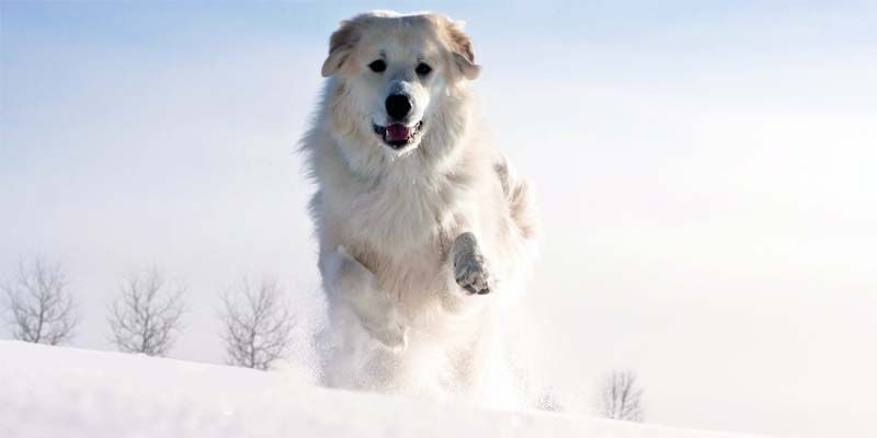 Cane da montagna dei Pirenei1-800x400