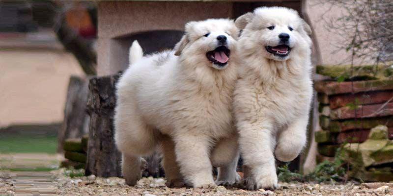 Gloria Collare in pelle spessa per cani