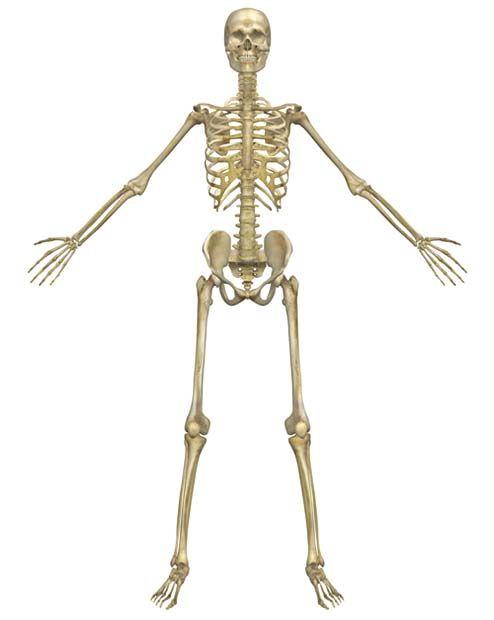 Il sistema scheletrico2-490x520