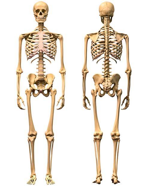 Il sistema scheletrico5-490x520