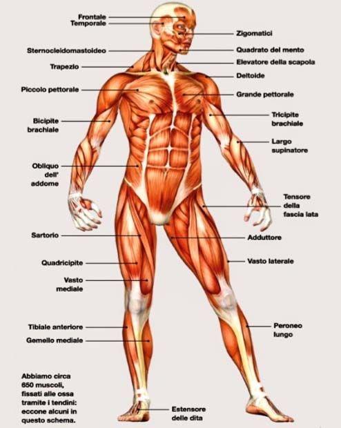 Il sistema scheletrico7-490x520
