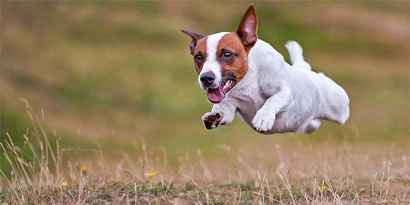 Jack Russell2-800x400