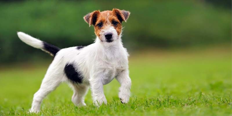 Jack Russell3-800x400