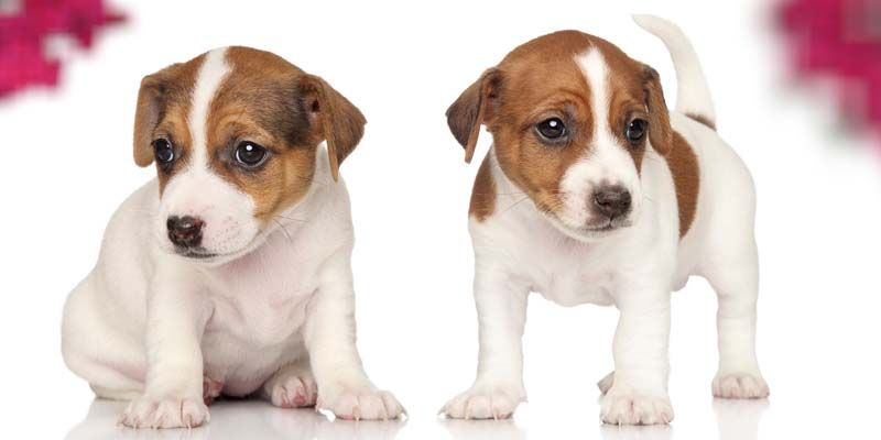 Jack Russell5-800x400