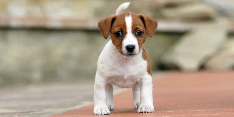 Jack Russell7-800x400