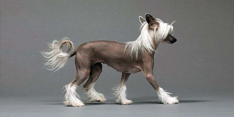 Chinese Crested Dog1-800x400