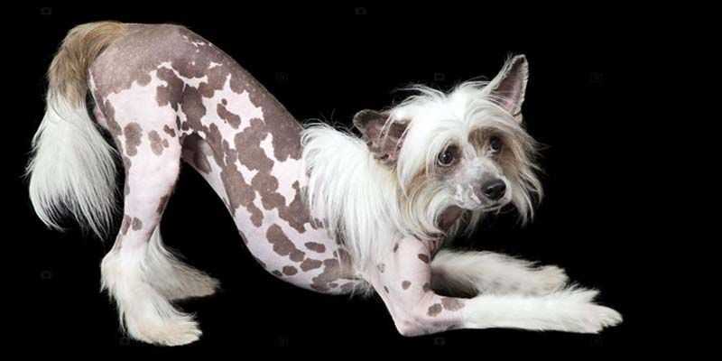 Chinese Crested Dog2-800x400