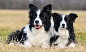 I dieci cani piu intelligenti-300x180